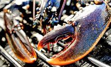 Hummerpremiär: Därför är hummerfisket rena vilda västern